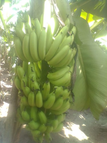 Fresh Green Banana 06