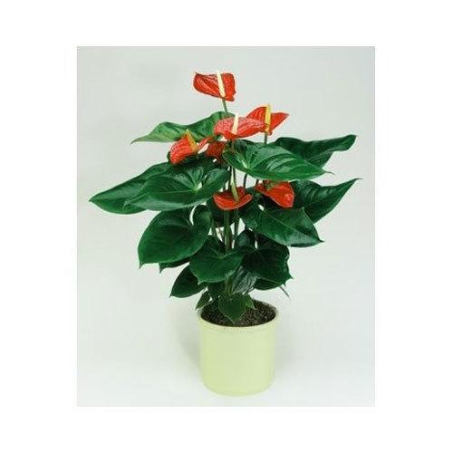 Alabama Anthurium Plant Pot