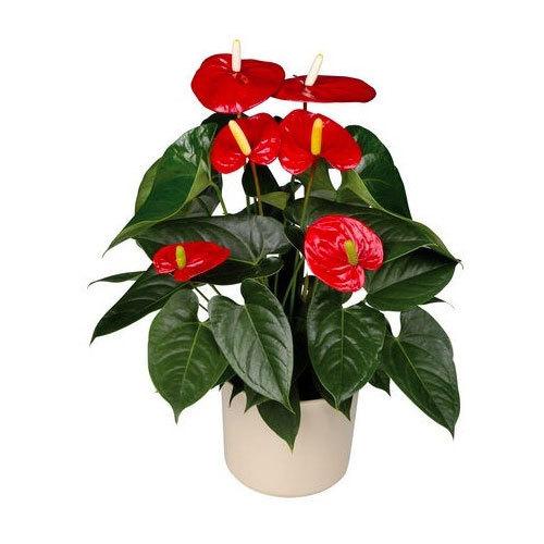 Anthurium Flowering Plant Pot