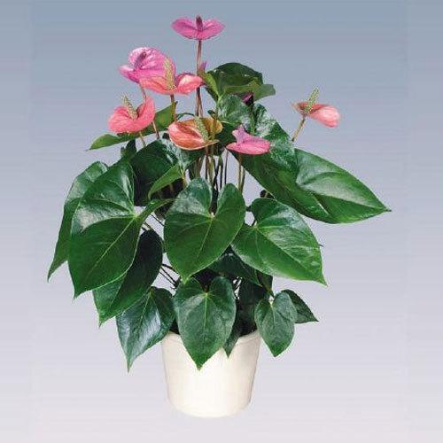 Cavalli Anthurium Plant Pot