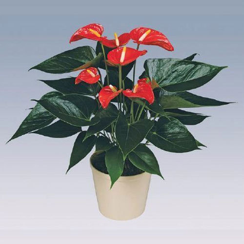 Matiz Anthurium Plant Pot