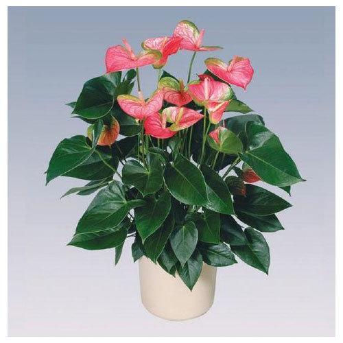 Pandola Anthurium Plant Pot
