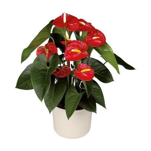 Royal Champion Anthurium Plant Pot