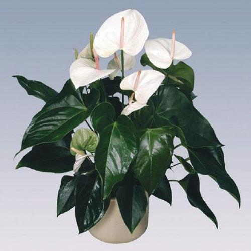 Sumi Anthurium Plant Pot