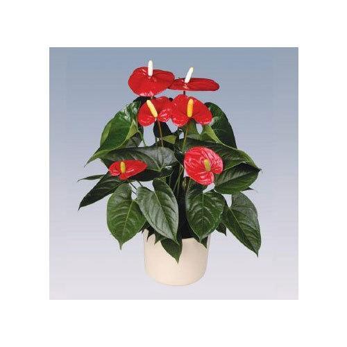 Turenza Anthurium Plant Pot
