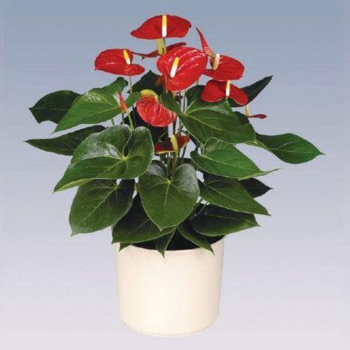 Vito Anthurium Plant Pot