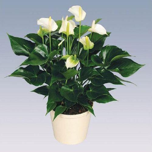 White Champion Anthurium Plant Pot