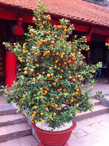 Golden Sweet Apricot Plant