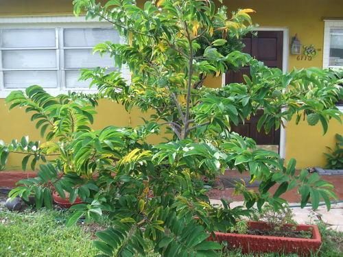 Sharifa Sugar Apple Plant