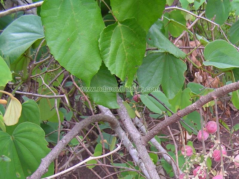 Alchornea Cordifolia Plant