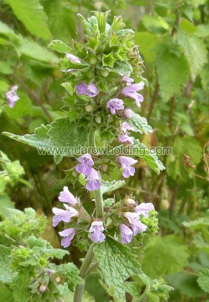 Black Horehound Plant