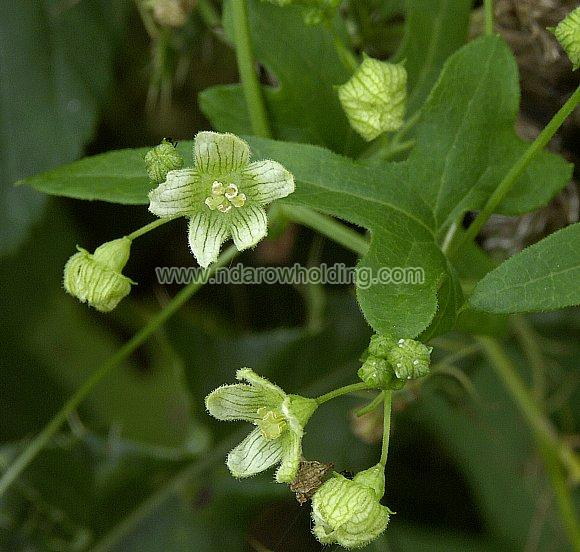 Bryonia Plant
