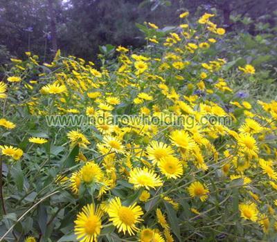Chrysanthellum Plant
