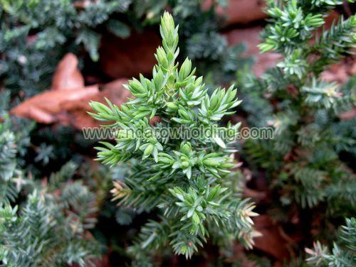 Common Juniper Plant