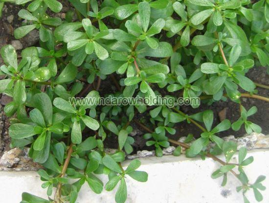 Common Purslane Plant