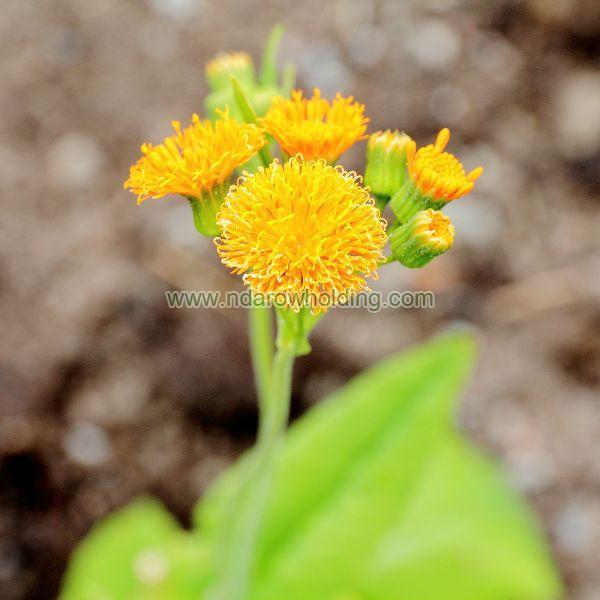 Emilia Coccinea Plant