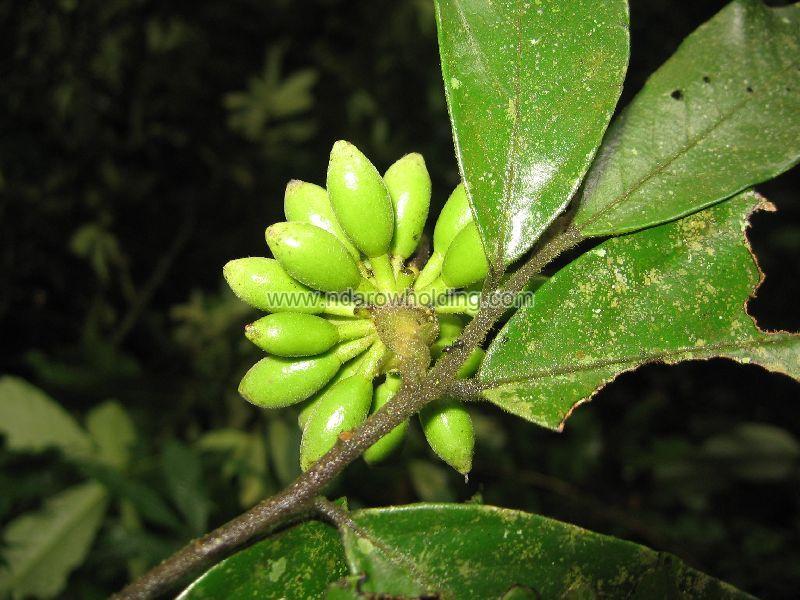 Enantia Chlorantha Plant