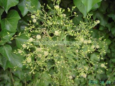 Erigeron Floribundus Plant