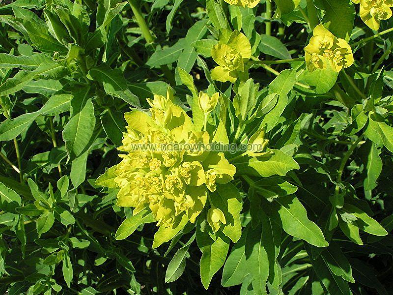 Euphorbia Lateriflora Plant