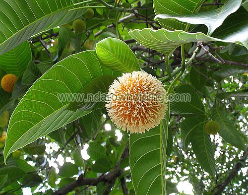 Fleroya Stipulosa Plant