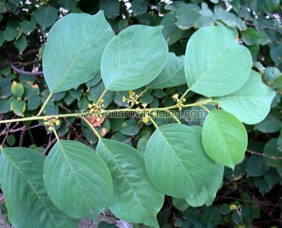 Mauby Plant