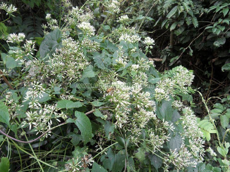 Mikania Cordata Plant
