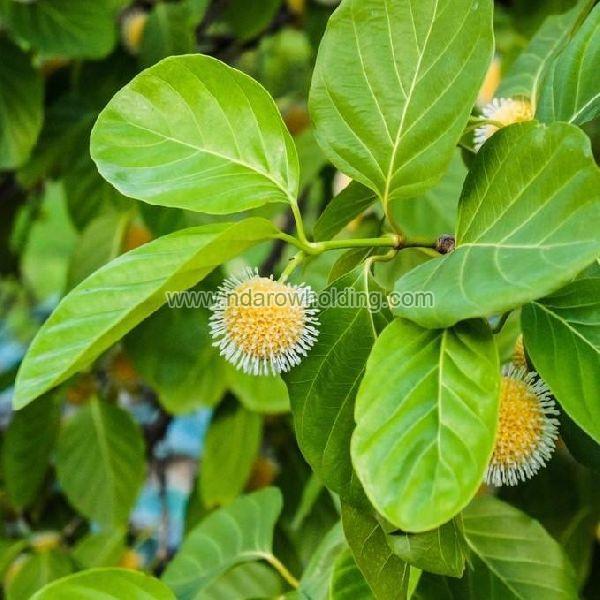 Nauclea Latifolia Plant