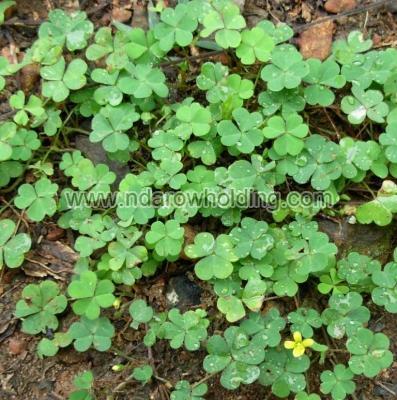 Oxalis Corniculata Plant
