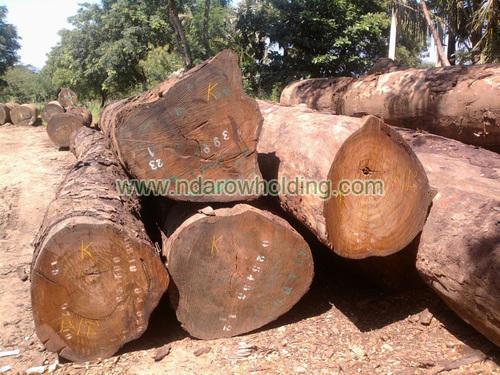 Pachyloba Wood Logs