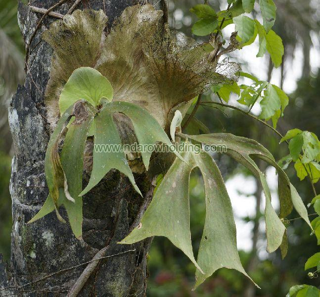 Platycerium Stemaria Plant