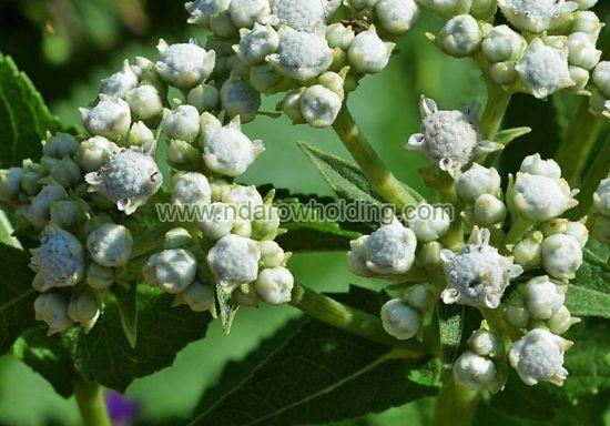 Quinine Plant