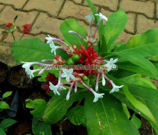 Rauwolfia Plant