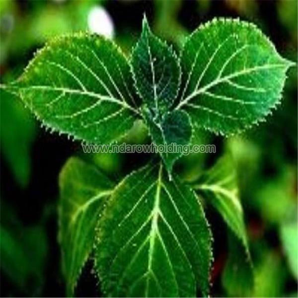 Yohimbe Bark Plant
