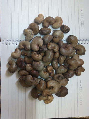 Fresh Raw Cashew Nuts