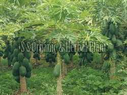 Organic Raw Papaya Plant