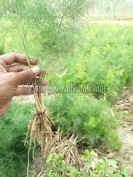 Organic Shatavari Plant