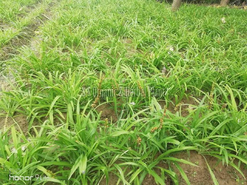 Safed Musali Plant