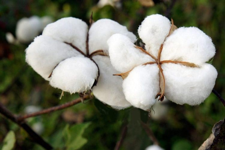 natural raw cotton