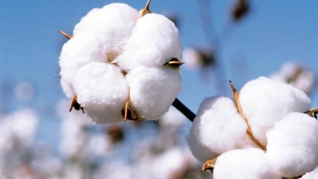 Organic Raw Cotton