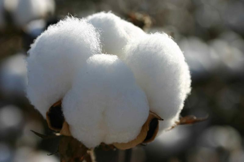 white raw cotton