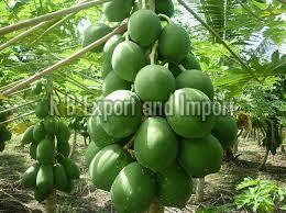 Fresh Natural Green Papaya