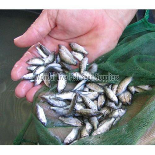 Katla Fish Seed