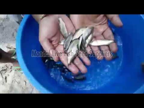 Seabass Fish Seed