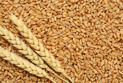 Raw Wheat Seeds