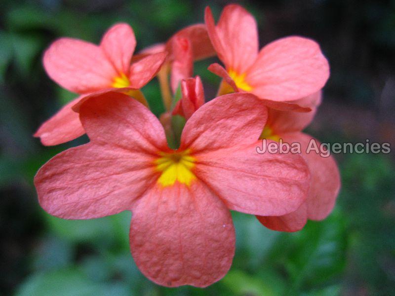 Fresh Kanakambaram Flowers