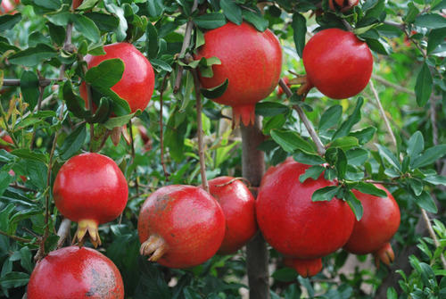 Fresh High Quality Pomegranate