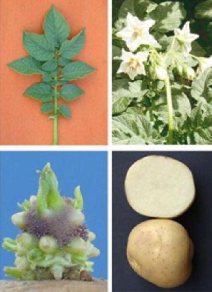 Kufri Chipsona-2 Potato
