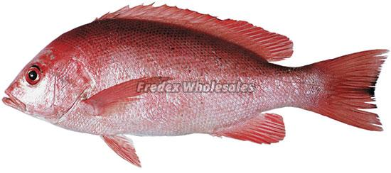 King Snapper Fish 02