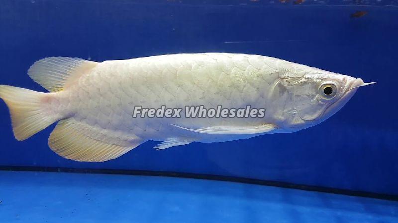 Platinum Crossback Fish