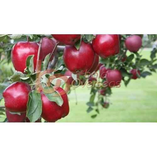 Red Kashmiri Apple
